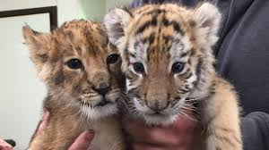 Hotels Near Six Flags Great Adventure Jackson Nj Rare Tiger Lion Cubs Celebrate 1st Birthday At Six Flags Great