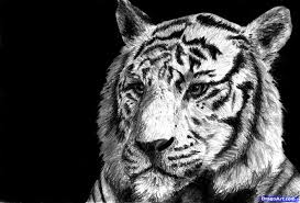 how to draw a white tiger draw a tiger in pencil step by step