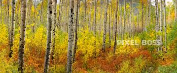 independence pass aspen mist 3 pixel boss ultra high aspen trees in the mist during fall colors colorado
