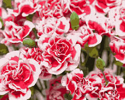 compare prices on single carnation online shopping buy low price