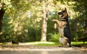 belgian shepherd victoria australia handling your dog u0027s thunderstorm phobia australian dog lover