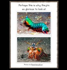 Mantis Meme - why the mantis shrimp is my new favorite animal the oatmeal