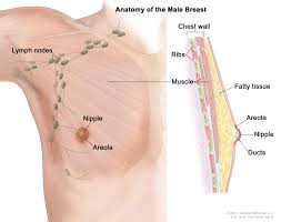 Male And Female Anatomy Differences Male Breast Cancer Treatment Pdq U2014patient Version National