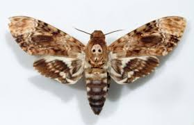 What Is The Meaning Of Desk The Meaning Of The Moth As A Spirit Guide Exemplore