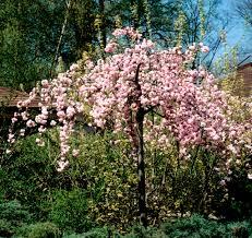 Abris De Jardin Cerisier by Cerisier Du Japon Planter Et Entretenir U2013 Ooreka
