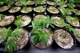 scotts miracle gro u0027s stocks surge with big bets on pot but will