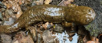 Alabama wildlife images Hot on the alabama trail of the elusive hellbender the wildlife jpg