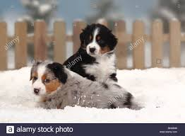 australian shepherd 14 weeks australian shepherd puppies black tri blue merle stock photos