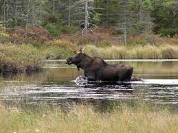 moose and elk free images public domain images
