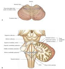 Pyramids Of The Medulla Overview Of The Central Nervous System Gross Anatomy Of The Brain