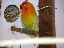 fischers lovebird info fischer lovebirds fisher u0027s lovebird