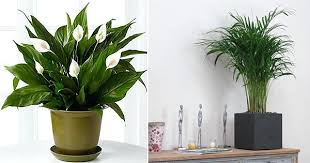 inspiring plant for living room these 5 plants are best indoor