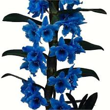 blue dendrobium orchids royal blue towering nobile orchid premium gift with classic white