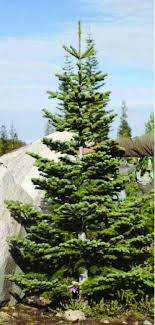 73 best the silver tip fir images on firs