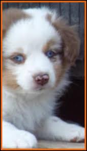 australian shepherd 6 weeks old jessie u0027s litter 2 pup2 blue eyed red merle male miniature