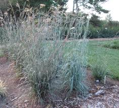 new big bluestem cultivars grasstalk