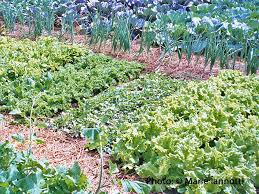 is manure safe to use in your vegetable garden