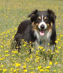 petz 5 australian shepherd australian shepherd dog information for owners