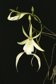 diuris corymbosa common donkey orchid 66 best orchid images on pinterest orchid flowers plants and