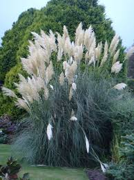 22 best ornamental grasses images on ornamental