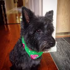 cairn terrier haircuts lapawz 63 photos 40 reviews pet groomers 3000 custer rd