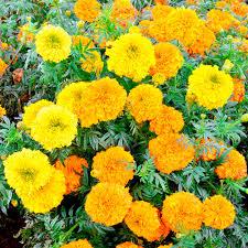 marigold indian seeds kushi marigold seeds popular flower