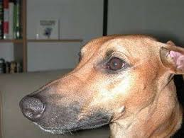 belgian shepherd x lurcher lurcher dog breed information and pictures