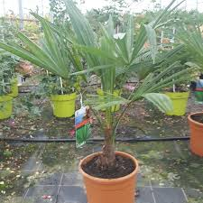 winter hardy palm trees for sale chusan palms delivery by