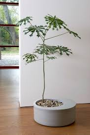 Indoor Decorative Trees For The Home Best 25 Indoor Trees Ideas On Pinterest Indoor Tree Plants