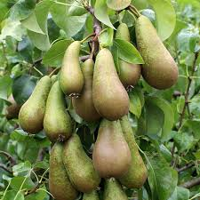 Patio Fruit Trees Uk by Fruit Trees For Sale Mail Order Trees Online