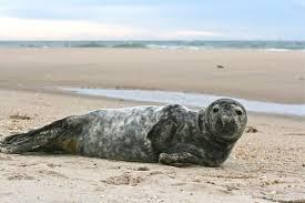 gray seal beached in southampton town dan u0027s papers