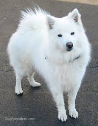 american eskimo dog in india american eskimo dog breed information and pictures