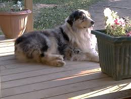 australian shepherd kidney disease the boys brandywine farm