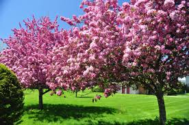 Beauty Garden by Flowering Tag Wallpapers Page 2 Tree Beautiful Flowering Nature
