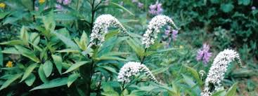 Flowersbybillbush Montreal Postal Code Map - gooseneck loosestrife lysimachia clethroides