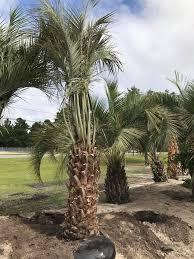 outdoor palm tree l p l palms p l palms llc in hstead nc is the
