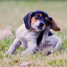 6 powerful flea treatments all pet parents should know about
