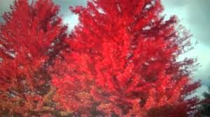 fast growing trees for sale cheap 4 25 at tn tree nursery