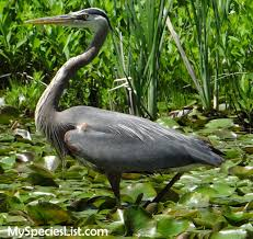 great blue heron identification and classification