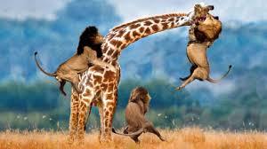 lion video national geographic lion kills giraffe lion vs