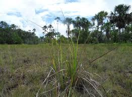 Tropical Savanna Dominant Plants - aripo savannas wikipedia