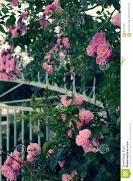 climbing roses trellis beautiful fence front of house stock photo