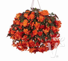 volmary hanging begonia u0027belina orange colours u0027
