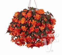 halloween flowers gifts volmary hanging begonia u0027belina orange colours u0027