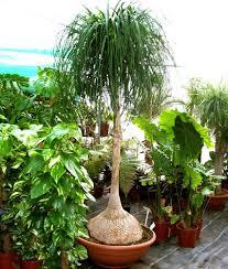 australian native indoor plants australian seed beaucarnea recurvata