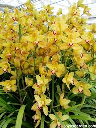 Orchid Cut Flowers - flower friday yellow orchids more cymbidiums grown for the