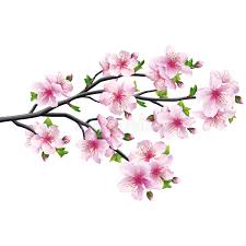 cherry blossom japanese tree stock vector illustration of