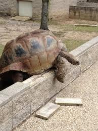 Tortoise Meme - 116 best tortoise houses images on pinterest pets tortoise house