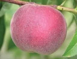 peach varieties u2014 adams county nursery