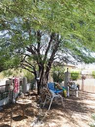 Backyard Shade Trees The Thornless Chilean Mesquite Is The Best Tree For Shade U2013 Tjs Garden